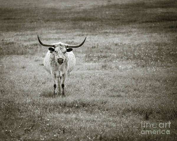 Photograph - Longhorn  Monochrome by Anthony Bonafede