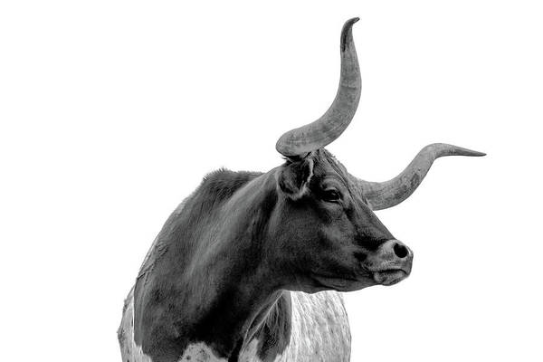 Longhorns Wall Art - Photograph - Longhorn Pride by Kate Wiltshire