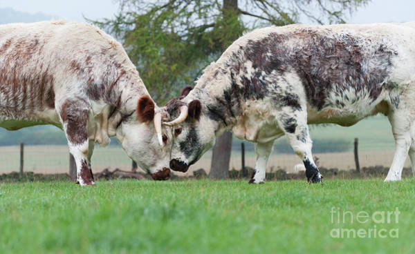Photograph - Longhorns by Tim Gainey