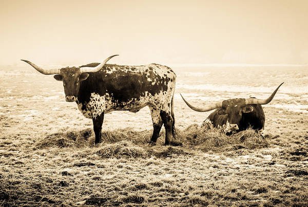 Photograph - Longhorns by TL  Mair