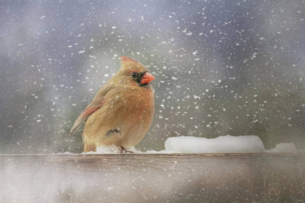 Photograph - Longing For Snow Boots Bird Art by Jai Johnson