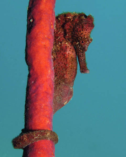 Photograph - Longsnout Seahorse, St. Croix, U.s. Virgin Islands 5 by Pauline Walsh Jacobson