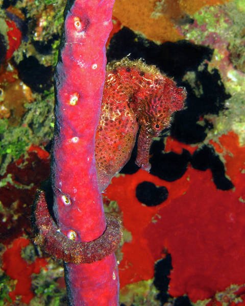 Photograph - Longsnout Seahorse, St. Croix, U.s. Virgin Islands 6 by Pauline Walsh Jacobson