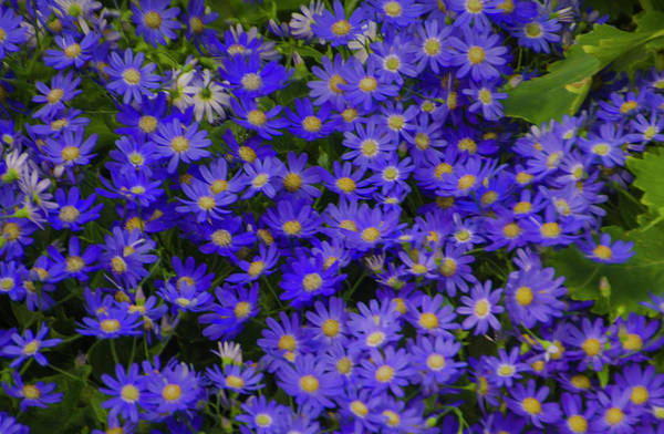 Longwood Gardens Photograph - Longwood Hybrid Cineraria by Bill Cannon