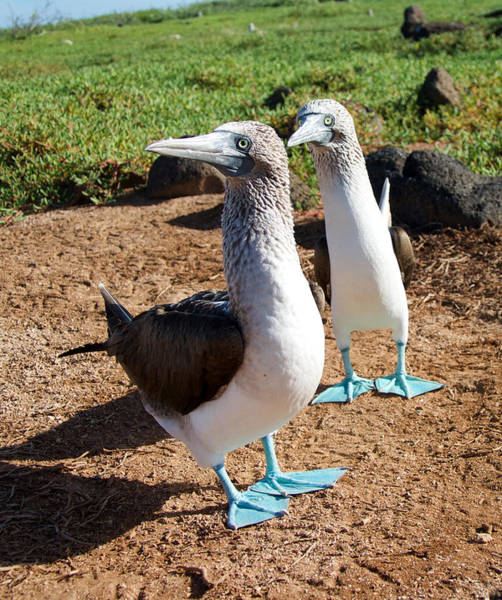 North Seymour Island Photograph - Look At Our Blue Feet by Jane Selverstone