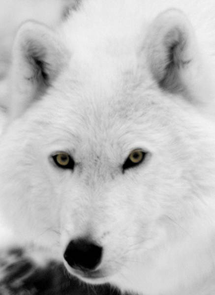 Arctic Wolves Photograph - Look Into My Eyes by Larry Ricker