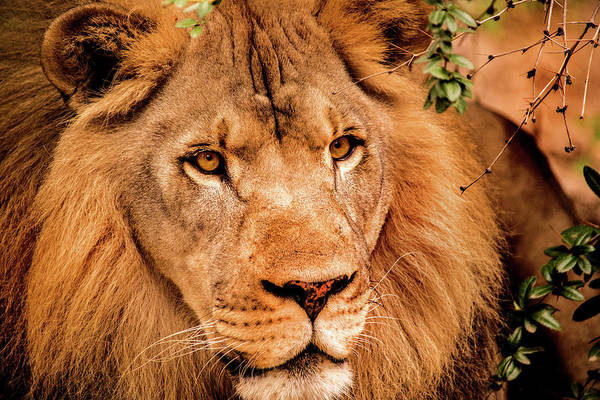 Photograph - Look Of A Lion by Don Johnson
