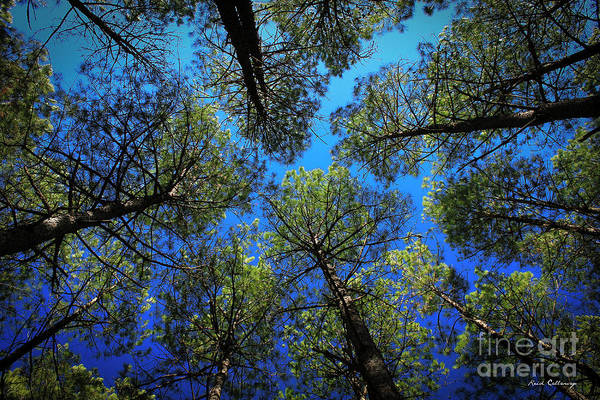 Photograph - Look Up 3 Tall Pine Tree Art by Reid Callaway