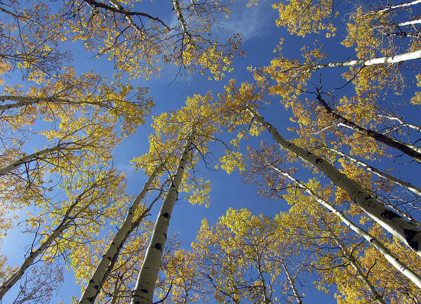 Photograph - Look Up Golden Aspens To Blue Sky V1 by Julia L Wright