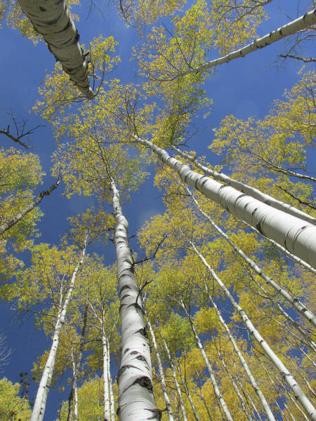 Photograph - Look Up Golden Aspens To Blue Sky V2 by Julia L Wright