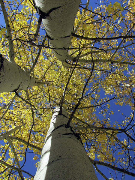 Photograph - Look Up Golden Aspens To Blue Sky V3 by Julia L Wright