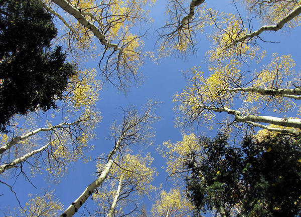 Photograph - Look Up Golden Aspens To Blue Sky V4 by Julia L Wright