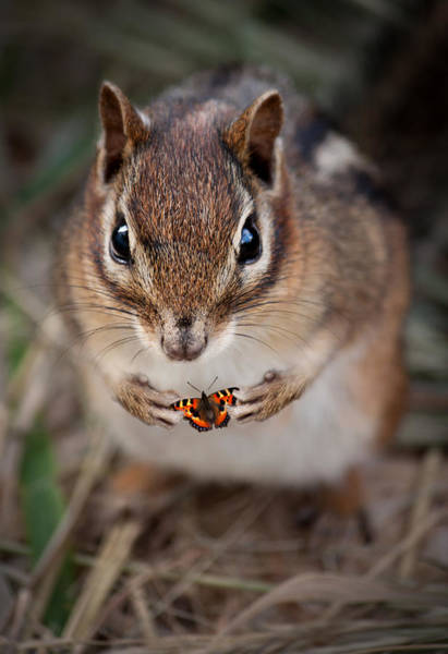 Chipmunk Wall Art - Photograph - Look What I Found  by Maggie Terlecki