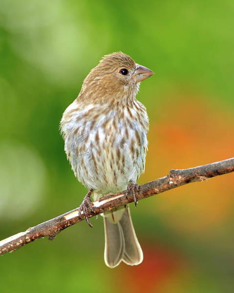 House Finch Photograph - Lookin' At You by Betty LaRue