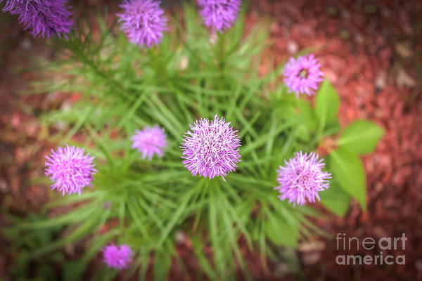 Liatris Spicata Photograph - Looking Down by Claudia M Photography