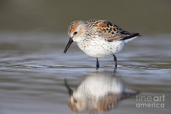 Sandpiper Photograph - Looking For Breakfast by Tim Grams