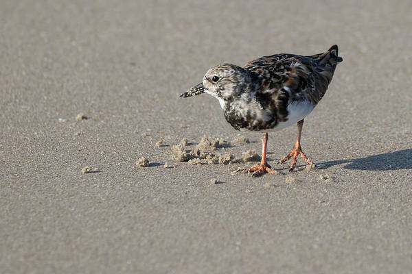 Photograph - Looking For Dinner On The Beach by Dawn Currie