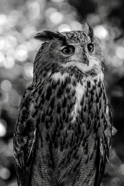 Photograph - Looking Owl  by Cliff Norton