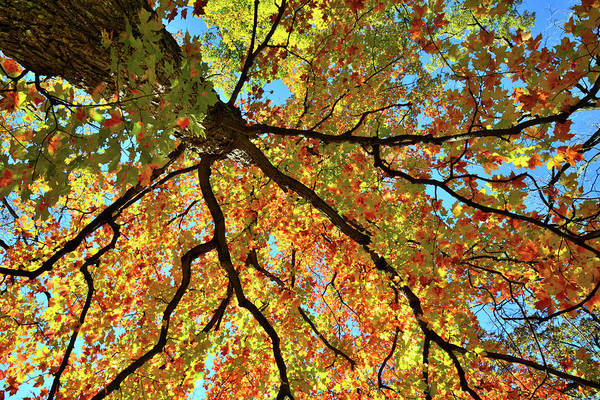 Photograph - Looking Skyward At Cook County Fall Colors by Ray Mathis