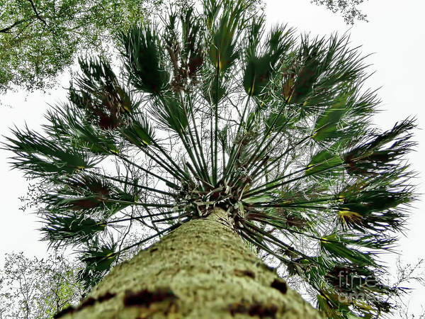 Photograph - Looking Up A Cabbage Palm by D Hackett
