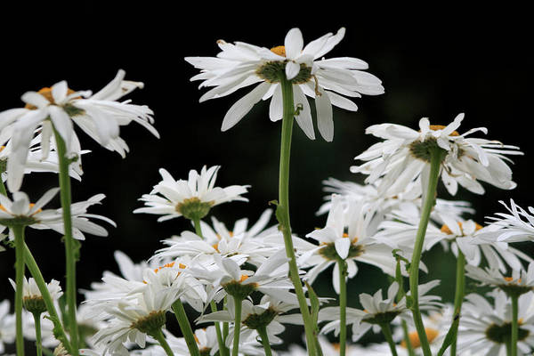 Photograph - Looking Up At At Daisies by Dorothy Cunningham