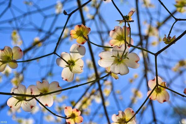 Photograph - Looking Up At Spring by Lisa Wooten