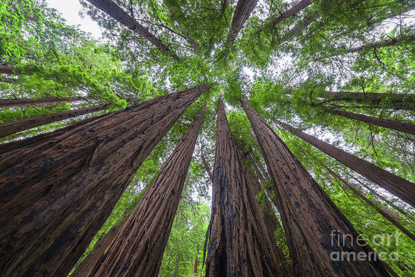 Bark Wall Art - Photograph - Looking Up Redwood Trees by Michael Ver Sprill