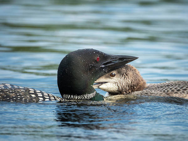 Wall Art - Photograph - Loon And Chick Cuddling by Stephanie McDowell