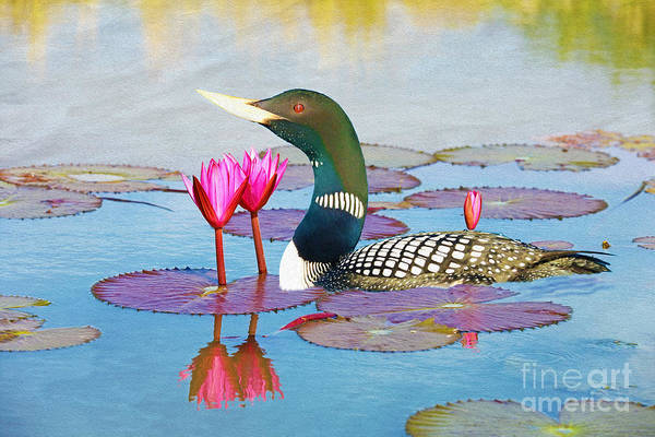 Loon Photograph - Loon And Lotus by Laura D Young