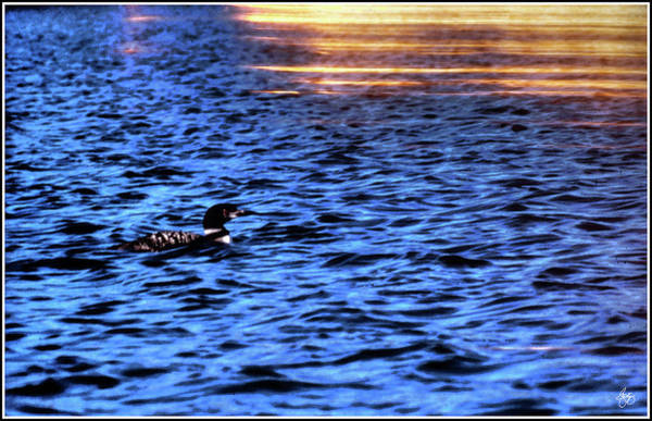 Photograph - Loon In Gold by Wayne King