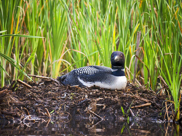 Photograph - Loon On Nest - Norway - Maine by Steven Ralser