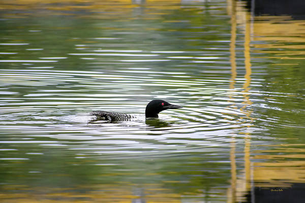 Wall Art - Photograph - Loon On The Lake by Christina Rollo