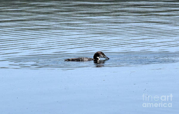 Wall Art - Photograph - Loon Ready To Dive by William Tasker