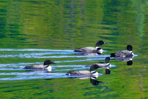 Photograph - Loons In Green Lake by Polly Castor