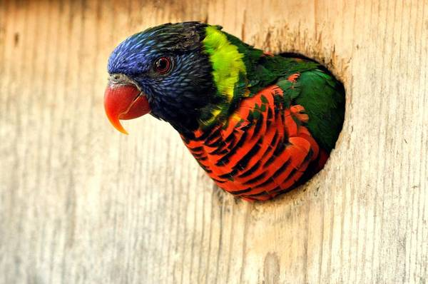 Rainbow Lorikeet Photograph - Lorikeet A Rainbow Of Color Looking Out by Laura Mountainspring