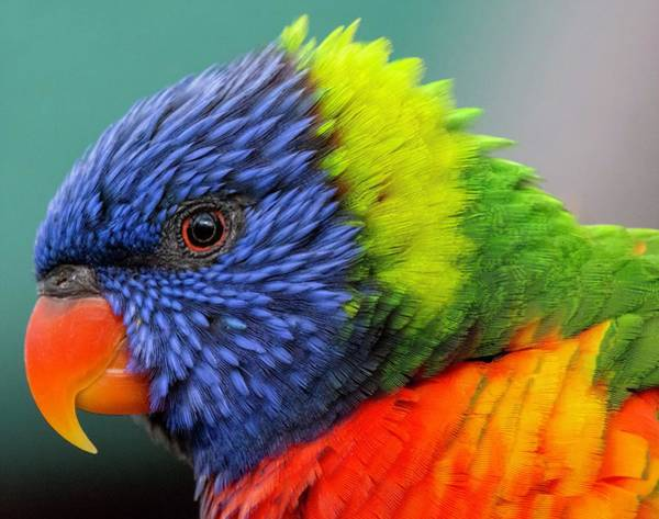 Photograph - Lorikeet Portrait by Rand