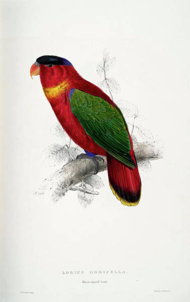 Blue Parrot Drawing -  Lorius Domicella by Edward Lear