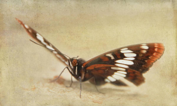 Photograph - Lorquin's Admiral Butterfly 2 by Marilyn Wilson