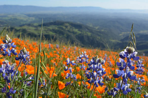 Figueroa Mountain Photograph - Los Padres National Forest Wildflowers by Kyle Hanson