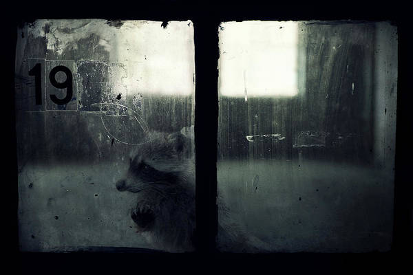 Raccoon Photograph - Lost Animals -  Series Nr.3 by Zoltan Toth