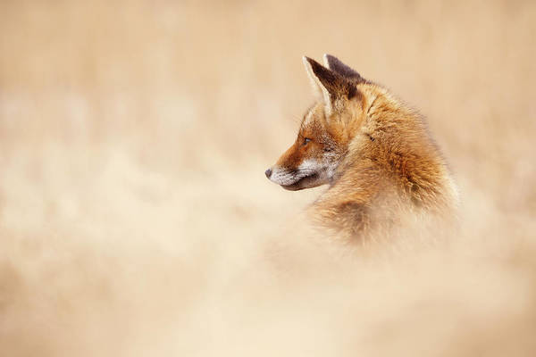 Wall Art - Photograph - Lost In This Word - Red Fox In Dry Grass by Roeselien Raimond
