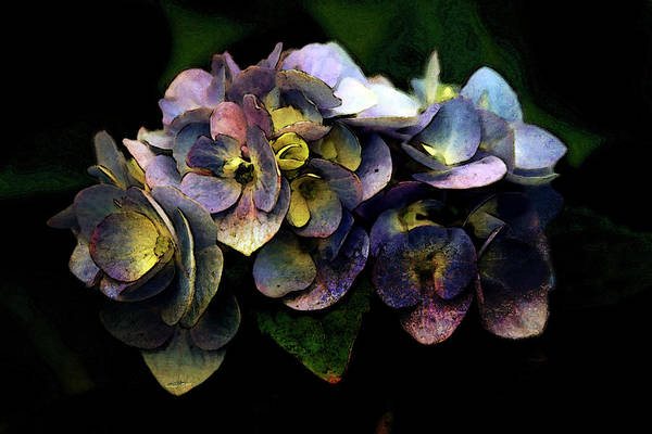 Photograph - Lost Painted Periwinkle Blue Hydrangea 3720 Lp_2 by Steven Ward