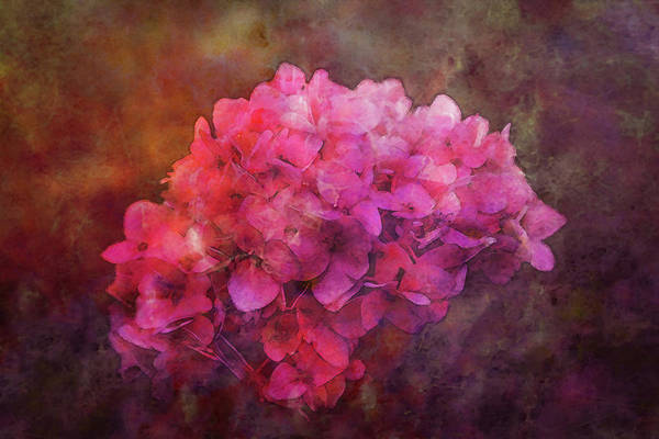 Photograph - Lost Pink Hydrangea 3712 Ldp_2 by Steven Ward