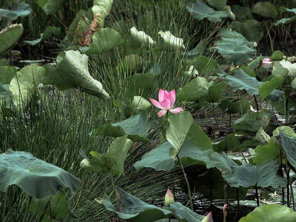 Photograph - Lotus #2 by Tran Minh Quan