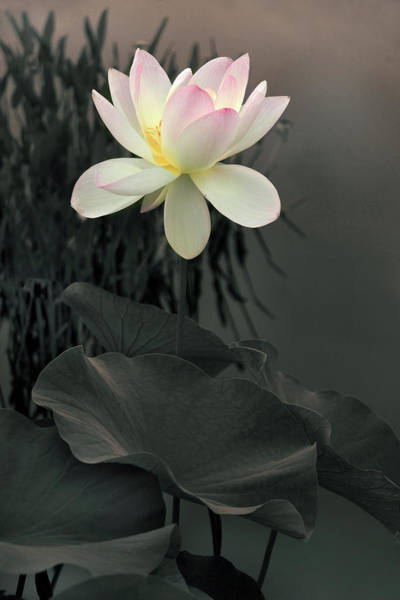 Pink Lotus Flower Photograph - Lotus Aglow by Jessica Jenney