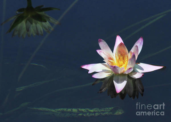 Photograph - Lotus And Reflection by Paula Guttilla