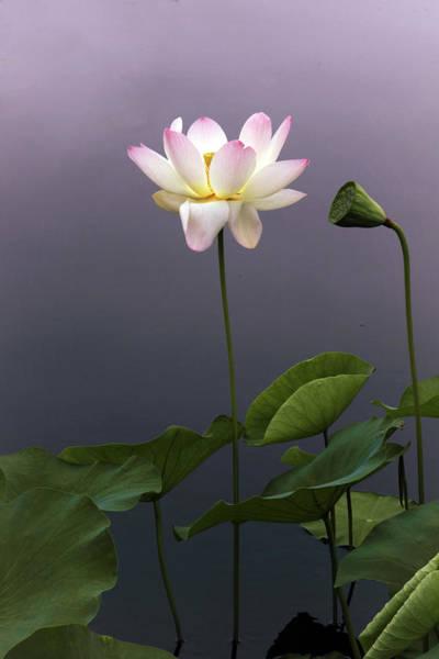 Photograph - Lotus Ascending by Jessica Jenney