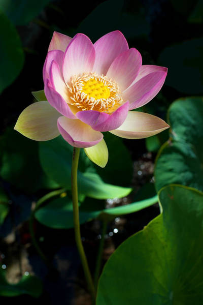 Wall Art - Photograph - Lotus Blossom  by Catherine Lau