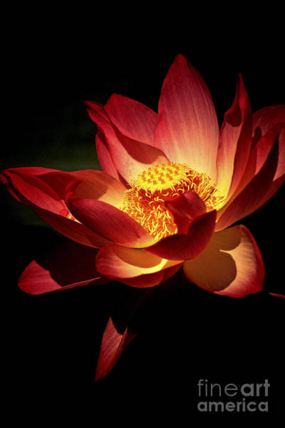 Pink Lotus Flower Photograph - Lotus Blossom by Paul W Faust -  Impressions of Light