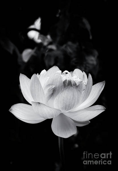 Wall Art - Photograph - Lotus Boli Furen Monochrome by Tim Gainey